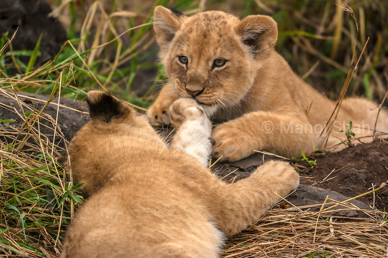 Lion cubs playing in Masai Mara.
