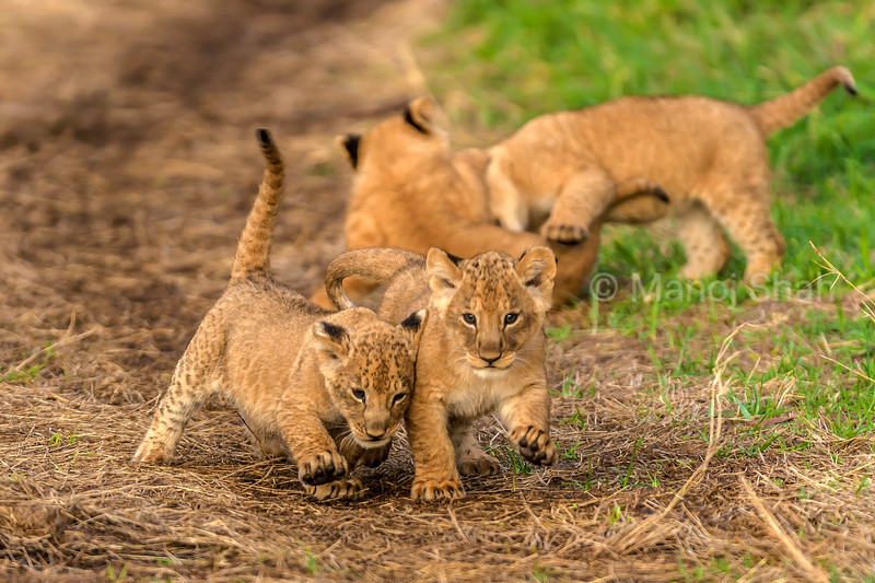 Lion cubs actively playing in Masai Mara.