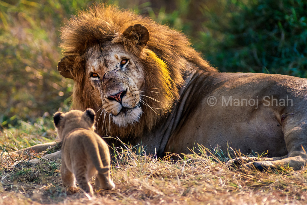 Male lion looks curiously on seeing his young cub walking over to greet him