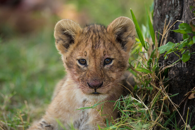 Lion cub resting after a meal