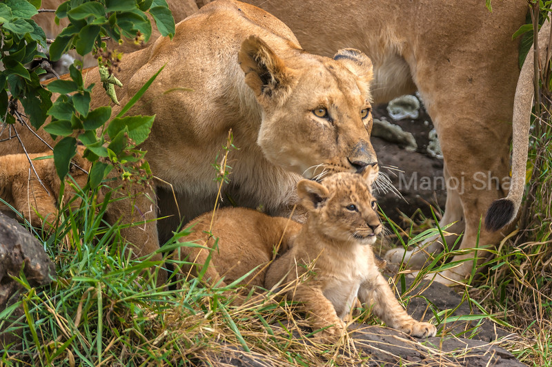 Lion Cub with protective mother in Masai Mara.