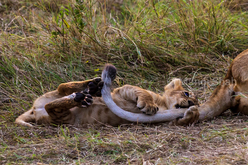 Lion cub playing with sleeping mother's tail