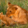 lioness grooming cub