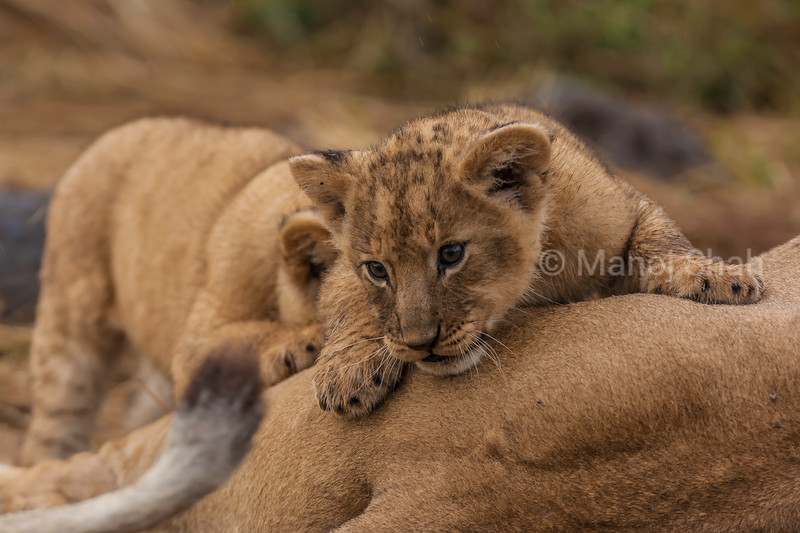 Lion cub engrossed by mother's tail in Masai Mara.