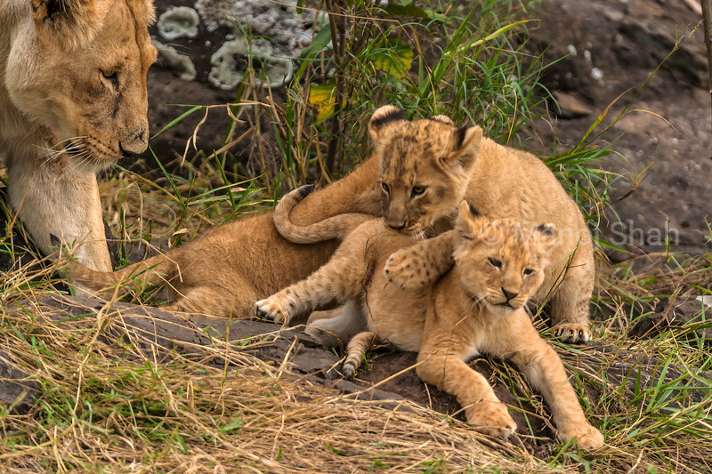 Lionesses keenly watching their cubs at play in Masai Mara.