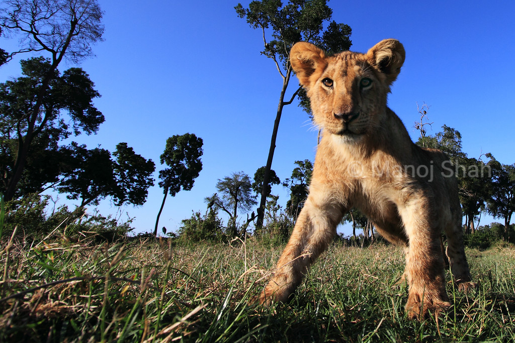 Low angle, wide angle image of lion cub