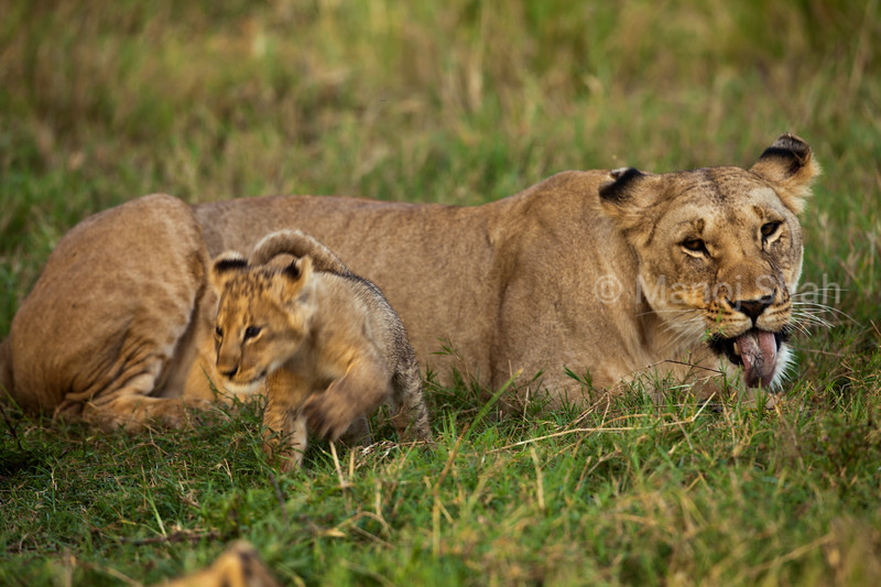 Lioness watching cub