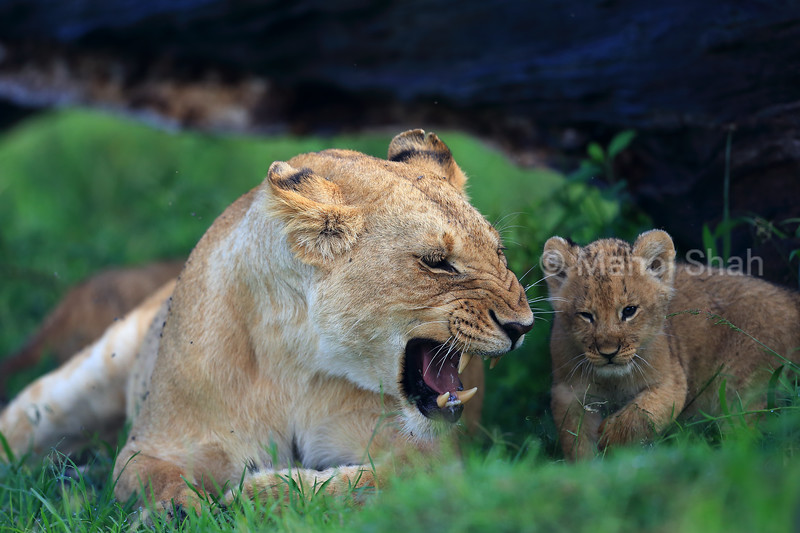 lioness angered by her cub playing next to her