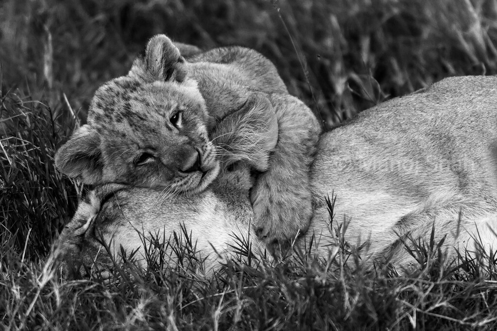 Lion cub resting its head on mother's.