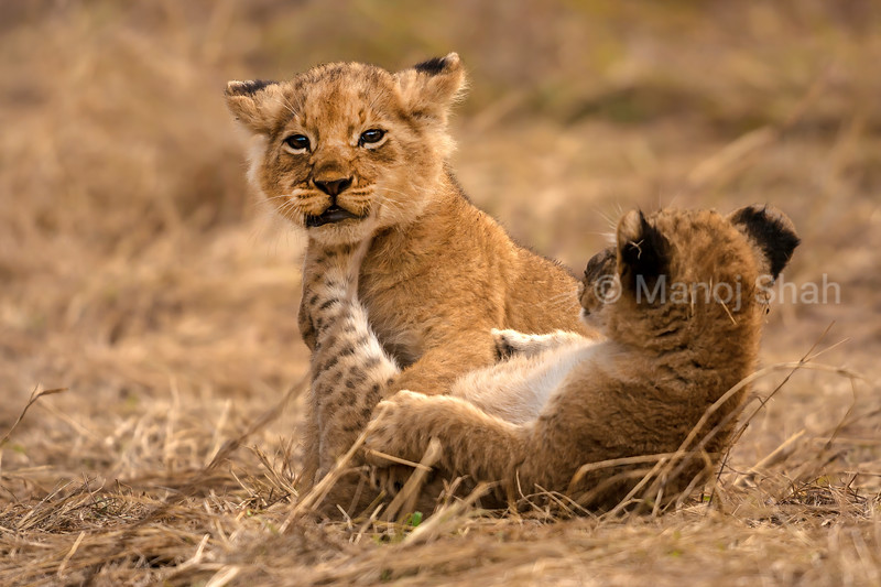 Lion Cubs happily playing and kicking in Masai Mara.