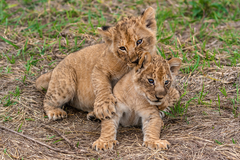 Lion Cubs happily playing in Masai Mara.