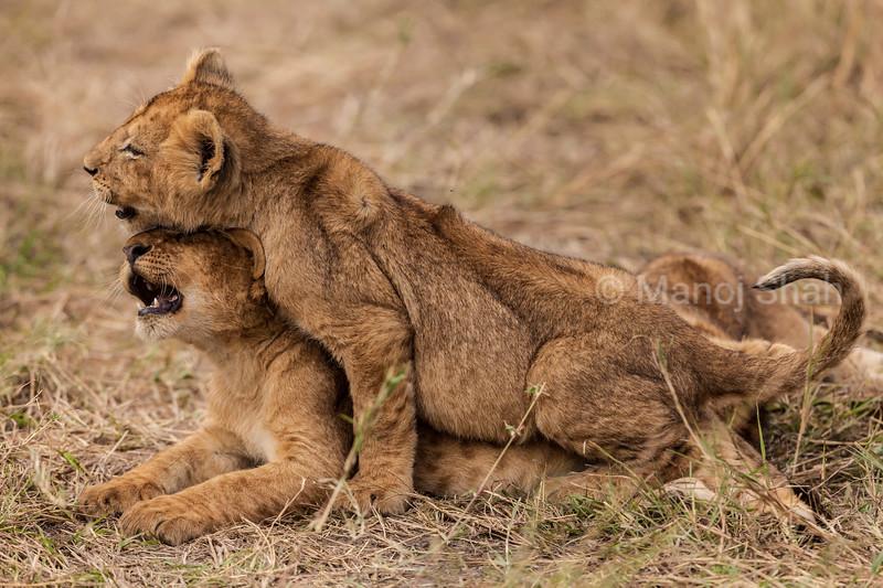 lion cubs mock mating
