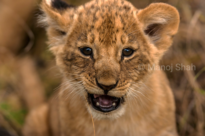 Lion cub fascinated by the camera pointing towards it in Masai Mara.