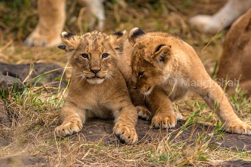 Lion cubs in the lion pride playing joyfully in Masai Mara.