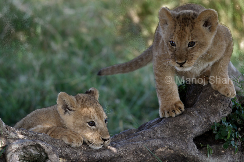 Lion cubs playing in shade of a tree