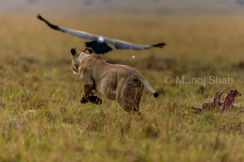 Lioness attempting to chase away vultures from a kill in Masai Mara.