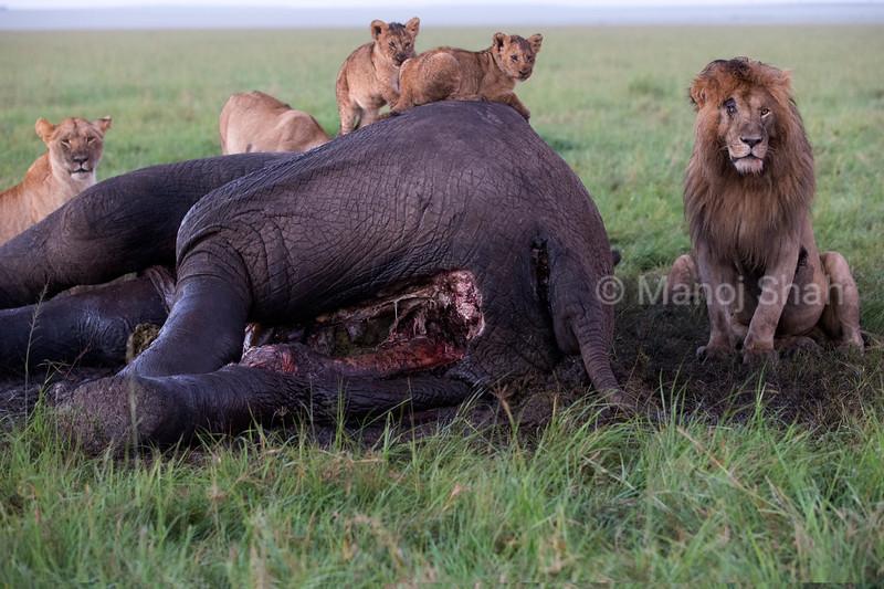 Lion pride feasting on elephant