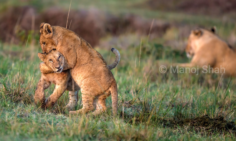 Lion cubs play fighting with mother nearby in Masai Mara.