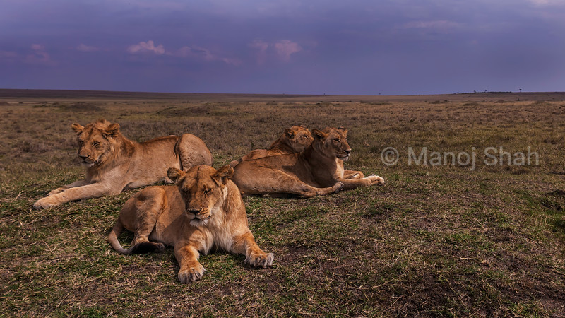 Lion pride resting in Masa iMara savanna.