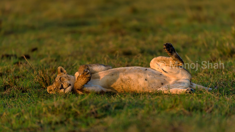 lionesses resting in Masai Mara savannah.