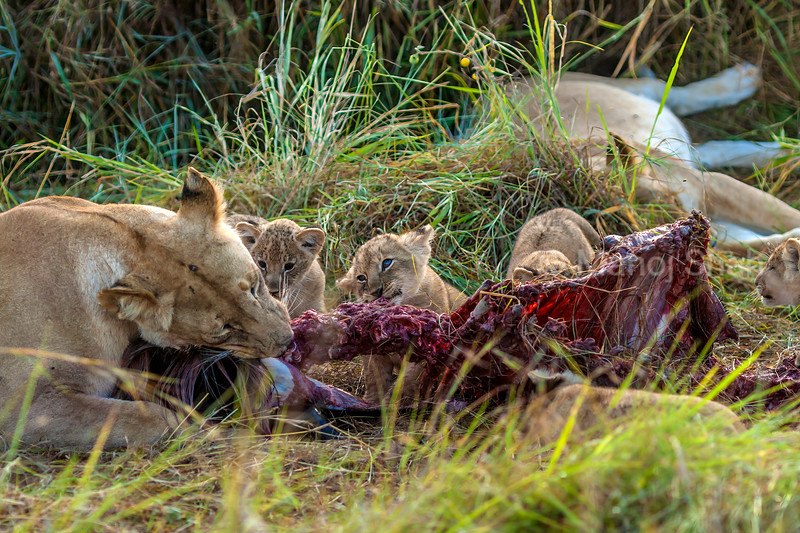 Lion cubs watching mother feasting on a kill in Masai Mara.