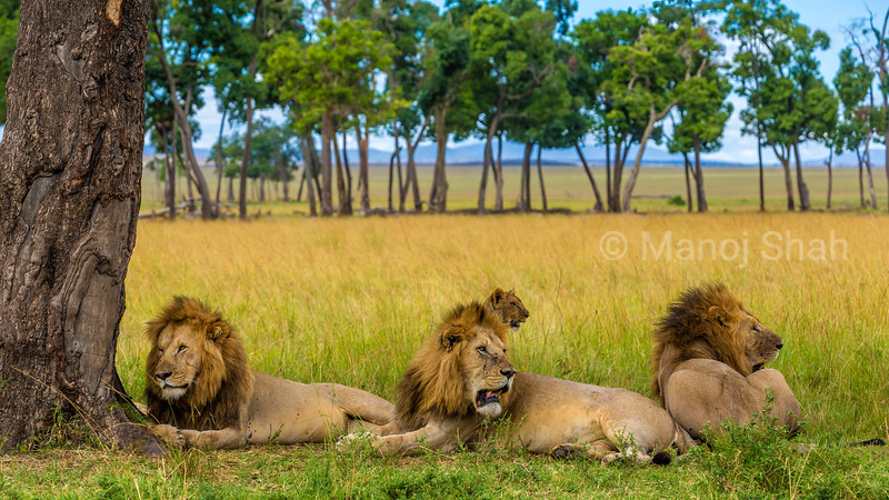 Male lions tresing under a tree in Masai Mara.