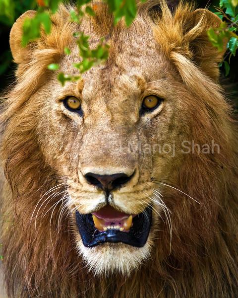 Alert male lion