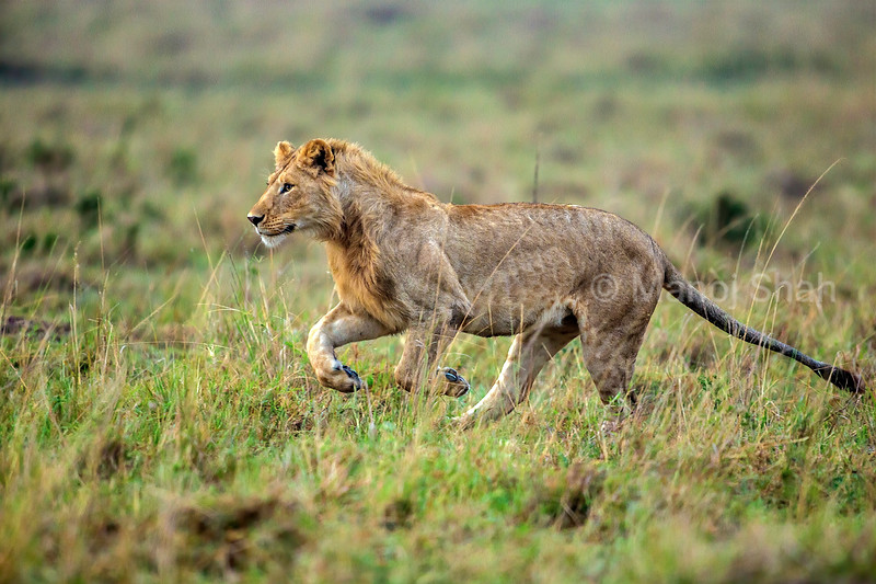 Male Lion on the run in Masai Mara.