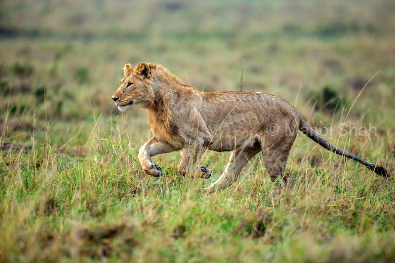Male Lion on the run in Masai Mara.
