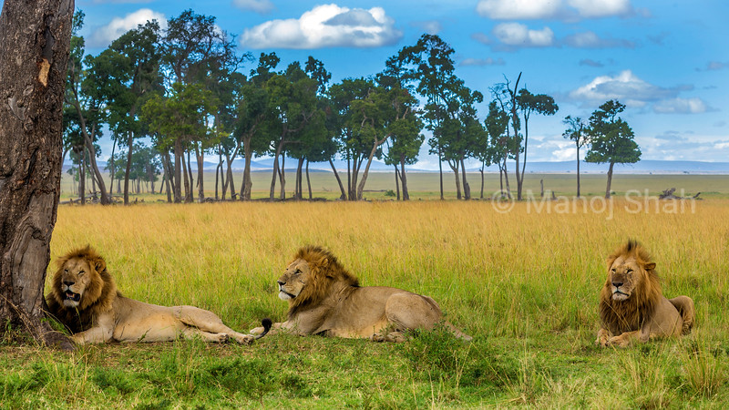 Male lions tresing under a tree in Masai Mara.
