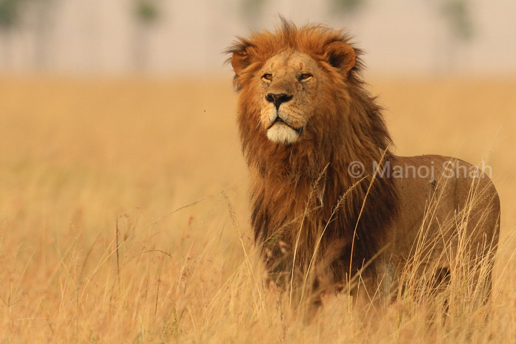 Male lion standing in long grass