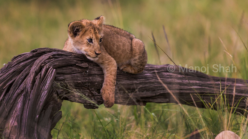 Lion cub resting on a fallen tree trunk.