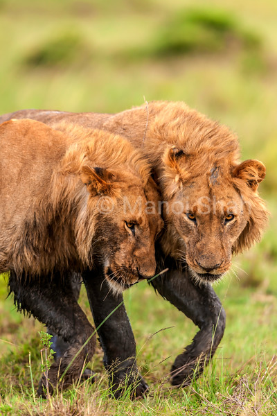 Male lion brothers greeting each other in Masai Mara.