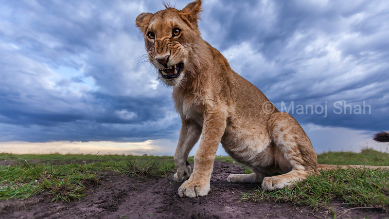 Lioness snarling at an approaching male in Masai Mara savanna.
