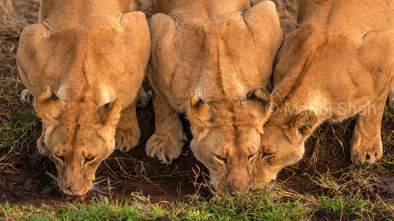 3 Lionesses busy drinking water n Masai Mara.