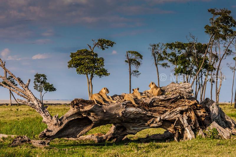 Lions resting on a fallen tree in Masai Mara