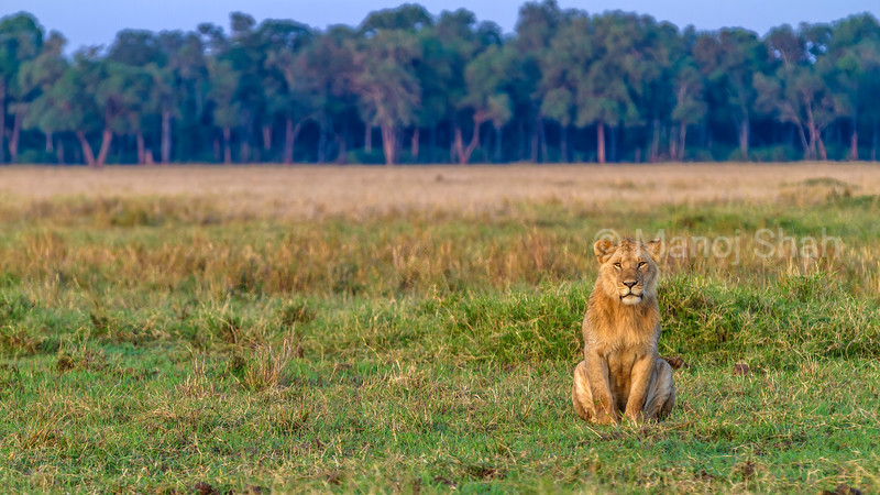 Young male lion sitting on the sanannah at sunrise in Masai Mara