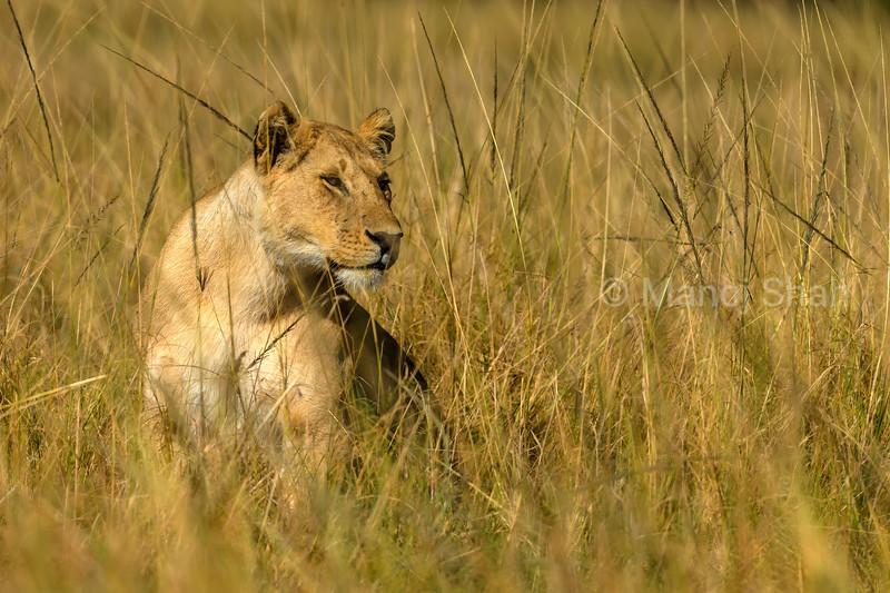 lionesses resting in lomg grass of Masai Mara savannah.