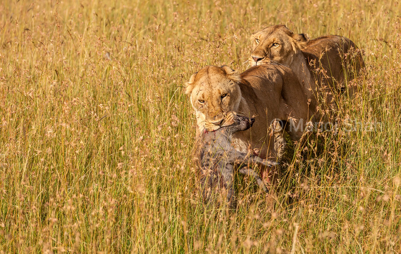 Lionesses have just hunted a warthog in the Masai Mara savanna tall grass.