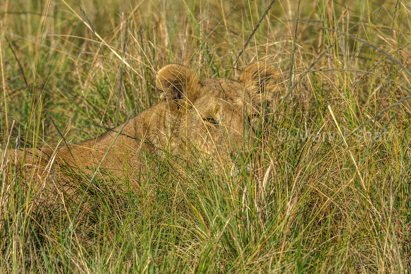 Lioness partly hidden in the long savanna grass of Masai Mara.