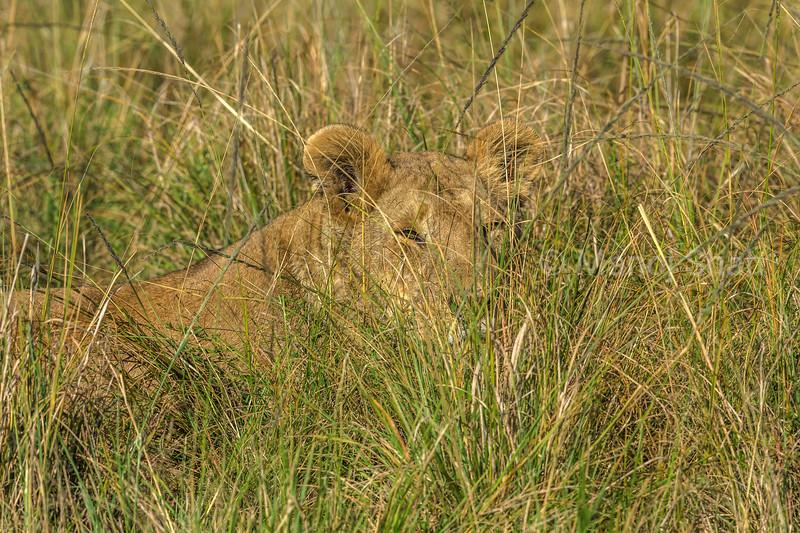 Lioness partly hidden in the long savanna grass of Masai Mara.