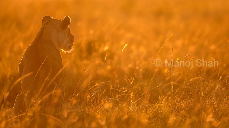 Lioness scanning the Masai Mara savanna at sunrise.