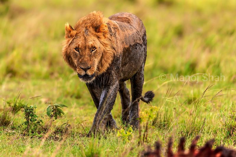 Male Lion walking to the kill in Masai Mara.