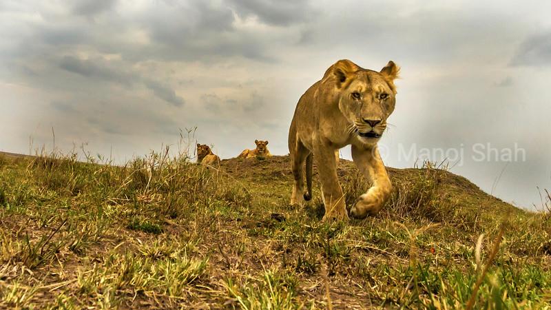 Lioness walking down hill in Masai Mara