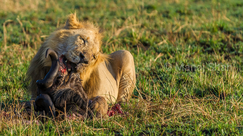 Male lion feeding on a wildebeest kill in Masai Mara.