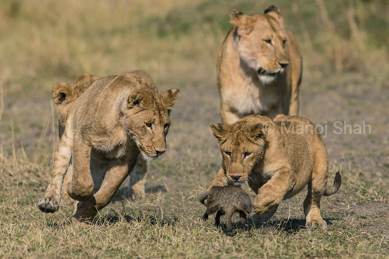 Lions chasing a mongoose