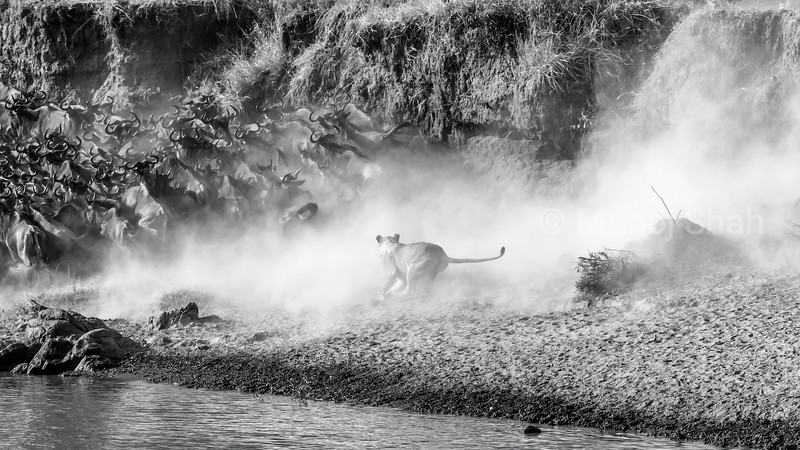 Lioness on the dusty hunt in the crossing point on Mara river in Masai Mara.