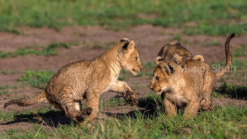 lion cubs playing in masai Mara