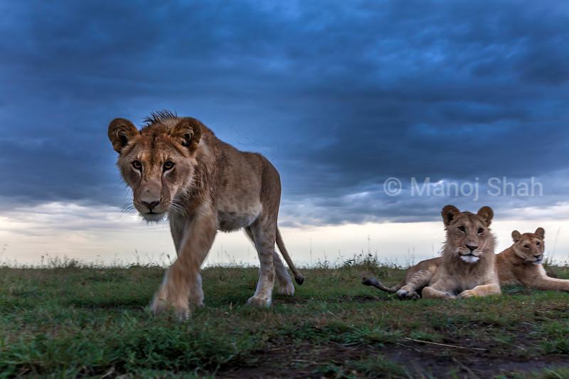 Lioness walks to the remote camera in Masai Mara savanna.