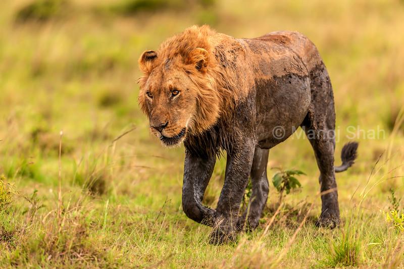 Male Lion walking in Masai Mara savanna.